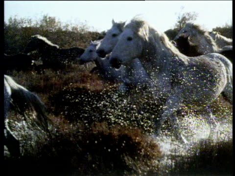 white camargue horses galloping through marshes cut to splashing legs of horses camargue - galopp gangart von tieren stock-videos und b-roll-filmmaterial
