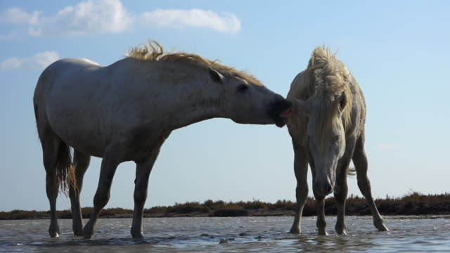 la 2 white camargue horses in shallow sea scenting and one does flehmen display - däggdjur bildbanksvideor och videomaterial från bakom kulisserna