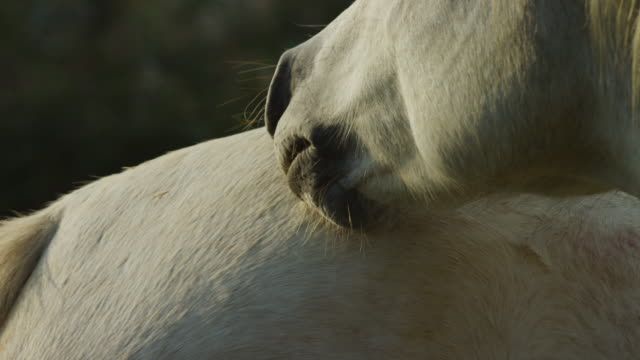 ecu  white camargue horses mutual grooming zo as they end and walk off - sich pflegen tierisches verhalten stock-videos und b-roll-filmmaterial