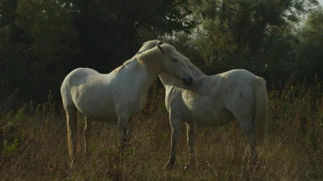 vídeos y material grabado en eventos de stock de ms 2 white camargue horses mutual grooming - acicalarse
