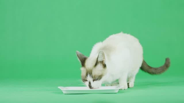 4K weiße Katze isst Nahrung auf einem grünen Bildschirm