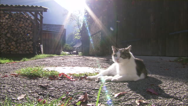 White cat grooms itself in sunshine on path next to timber shed, Hallstatt