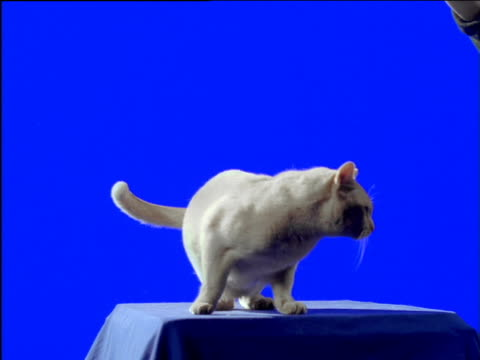 white cat licks paw and plays on platform - paw stock videos and b-roll footage