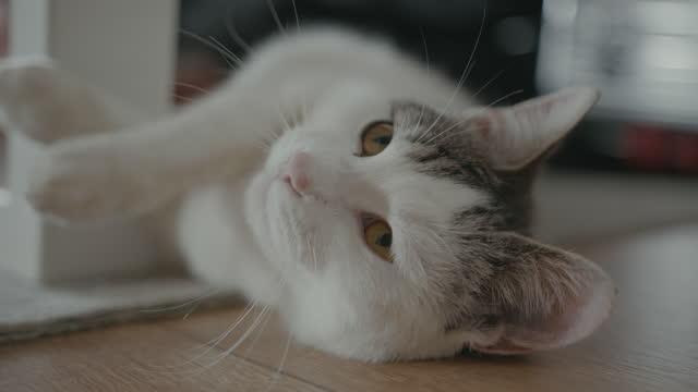 リビングルームに横たわる白猫 - ショートヘア種の猫点の映像素材/bロール