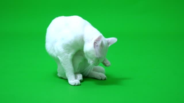 vidéos et rushes de chat blanc - couleur verte