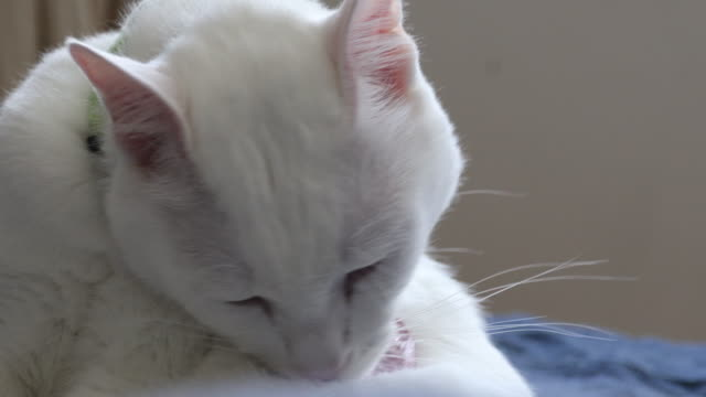 white cat - licking stock videos & royalty-free footage