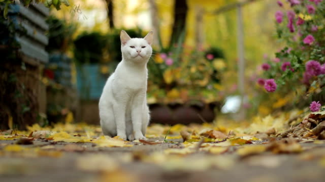 white cat - domestic animals stock videos & royalty-free footage