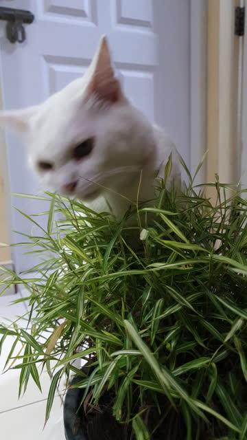 白猫が木を嗅いだり食べたりする - ショートヘア種の猫点の映像素材/bロール