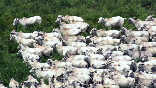white cattle in a herd, minas gerais state  - aerial view - goiás, brazil - cattle stock videos & royalty-free footage