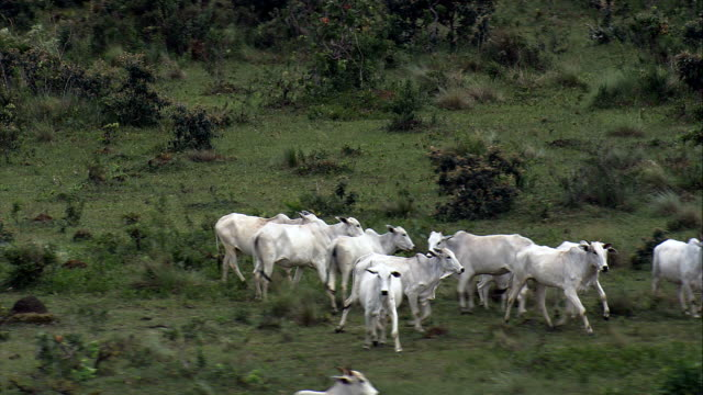 white cattle just north of brasilia  - aerial view - federal district, brazil - brazil stock videos & royalty-free footage