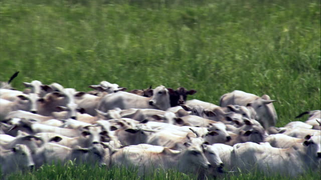 white cattle on the move, minas gerais state  - aerial view - goiás, brazil - cattle stock videos & royalty-free footage