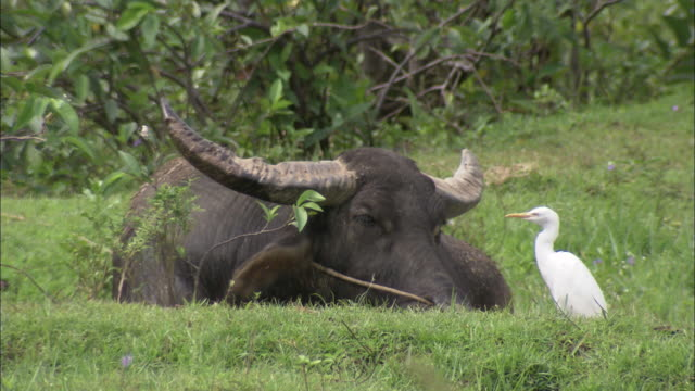 a white cattle-egret pecks at insects on a buffalo laying in a grassy field. - wild cattle stock videos & royalty-free footage