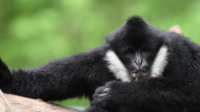 vídeos y material grabado en eventos de stock de gibón de mejillas blancas o lar gibbon - zoológico