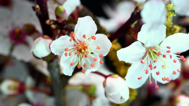 Blühenden Blumen White Cherry