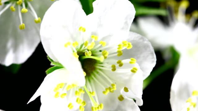 vídeos de stock, filmes e b-roll de flores desabrochando branco cereja - árvore de folha caduca