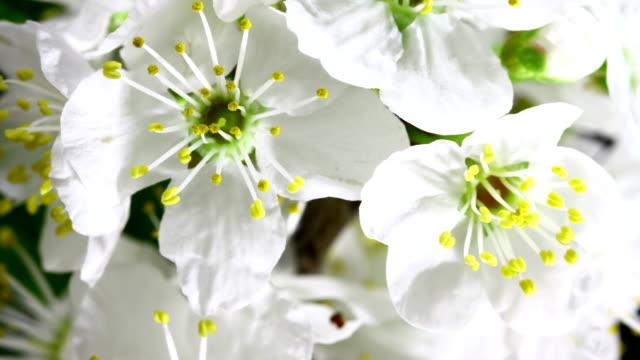 白い桜が咲く - 太白桜点の映像素材/bロール