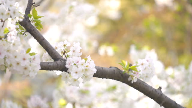 white cherry blossom sakura flower - 30 seconds or greater stock videos & royalty-free footage