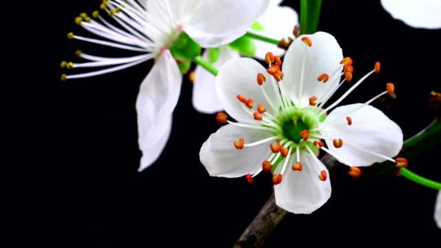 vídeos de stock, filmes e b-roll de flores de cerejeiras em flor branca - pistilo