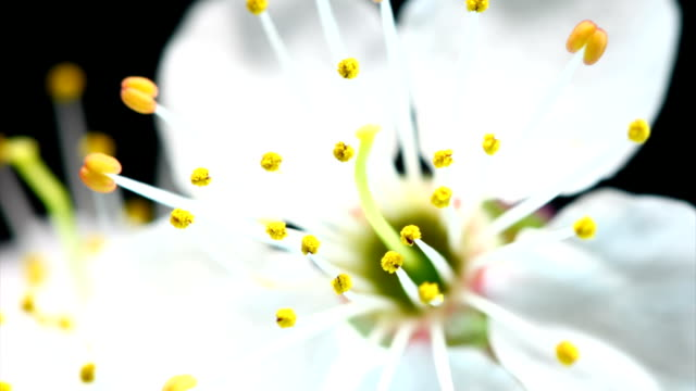 vídeos de stock e filmes b-roll de branco cereja flor desabrochando - prunus taihaku
