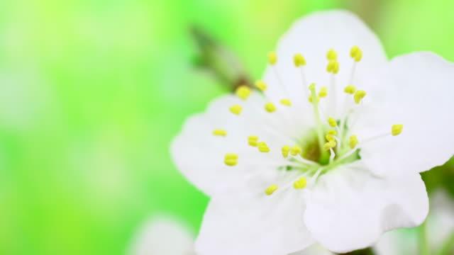 vídeos de stock e filmes b-roll de branco cereja flores a desabrochar 4 k - prunus taihaku