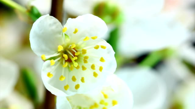 white cherry flowers blooming - blossom stock videos & royalty-free footage