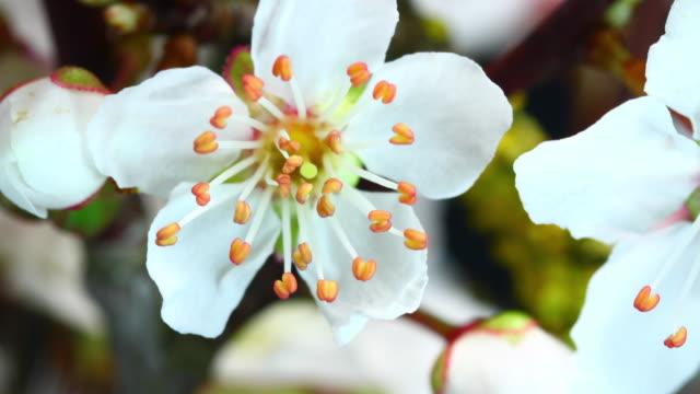 白桜の開花 4 k - 果樹の花点の映像素材/bロール