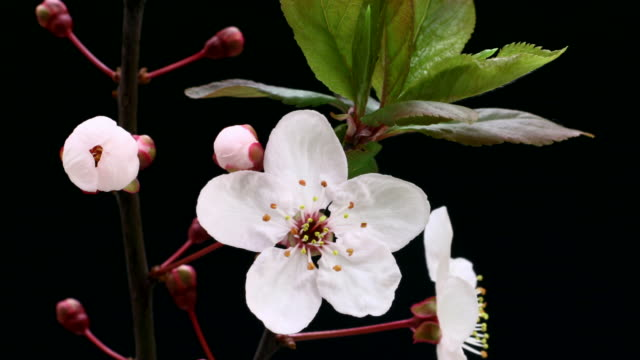 white cherry tree flowers blooming 4k - great white cherry stock videos & royalty-free footage