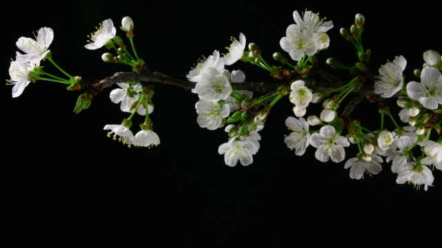 White cherry tree flowers blooming 4K