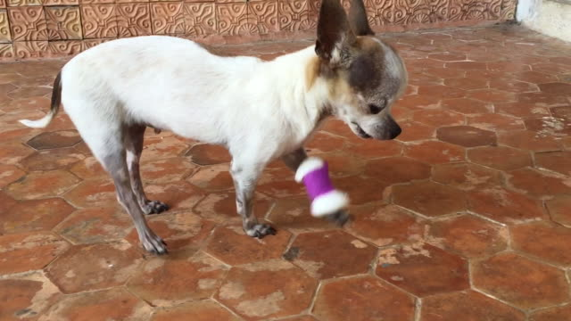 white chihuahua dog with bandage on a leg that is injured - broken stock videos & royalty-free footage