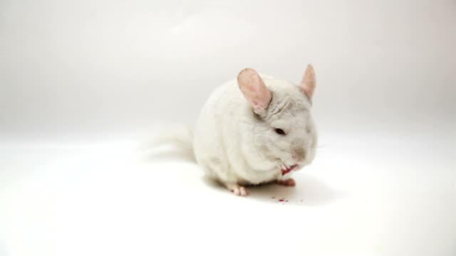 vídeos y material grabado en eventos de stock de blanco chinchilla comer - oreja animal