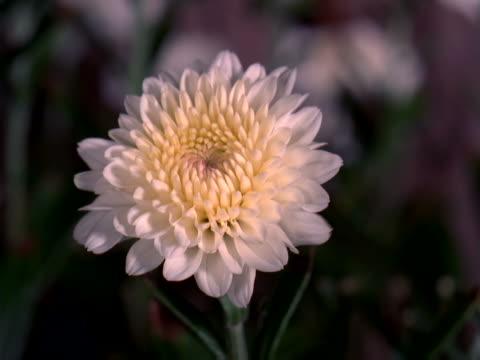 white chrysanthemum opening - chrysanthemum stock videos & royalty-free footage