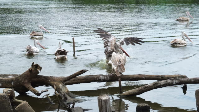 White Ciconiiformes bird finding fish in lake