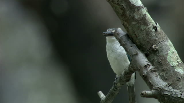 White collared kingfisher looks around from perch Available in HD.