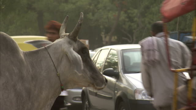 a white cow stands by the road as traffic passes. - delhi stock videos & royalty-free footage