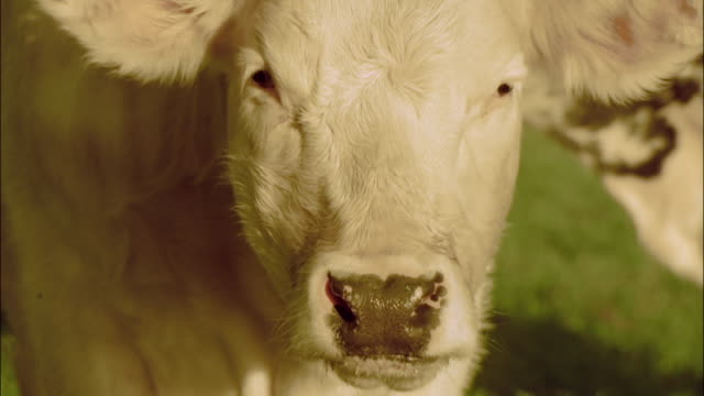 A white cow turns its head and stares.