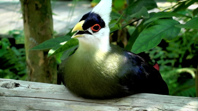 white crested turaco - biodiversity stock videos & royalty-free footage