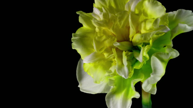 white daffodil blooming 4k - paperwhite narcissus stock videos & royalty-free footage