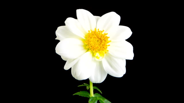 white dahlia time lapse - flower head stock videos & royalty-free footage