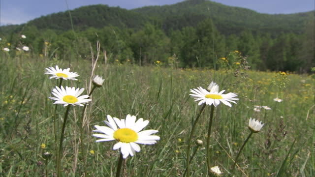 vídeos de stock e filmes b-roll de white daisies bloom in a grassy meadow in the appalachian mountains. - prado