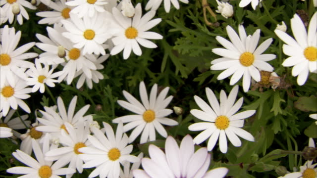 White daisies surround a single yellow daisy. Available in HD.