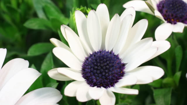 white daisy flower blooming 4k - great white cherry stock videos & royalty-free footage
