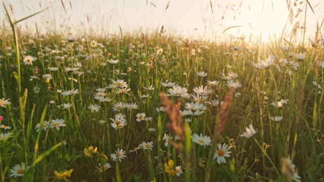 vidéos et rushes de fleurs de marguerite blanche ms dans une prairie ensoleillée, idyllique, paisible, rurale - plante sauvage
