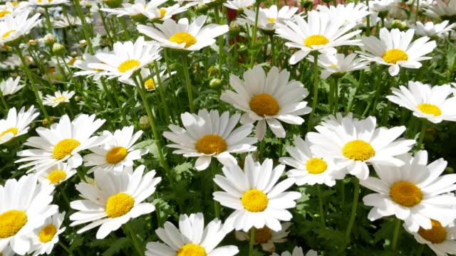 vidéos et rushes de fleurs blanches de marguerite ondulant dans le vent, résolution de 4k. - fleur sauvage
