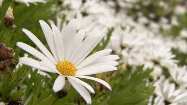 A white daisy trembles in a slight breeze. Available in HD.