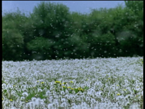 White dandelion seed heads floating on breeze over field of fluffy white dandelions, UK
