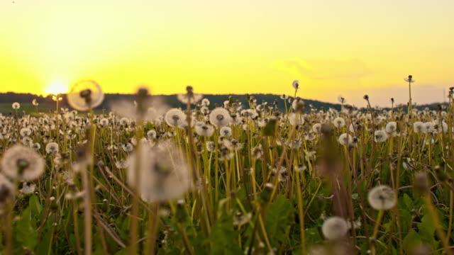 cu white dandelions at sunset - dandelion stock videos & royalty-free footage
