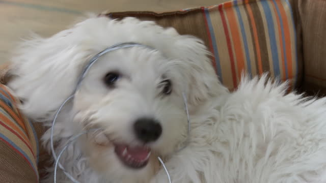 hd: white dog playing with a wire - pet bed stock videos and b-roll footage