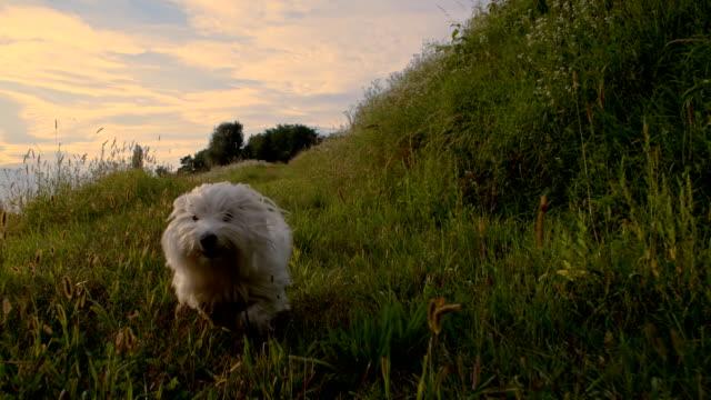 SLO MO branco Cão correr na grama