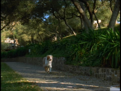 stockvideo's en b-roll-footage met white dog runs  to food dish - australische herder