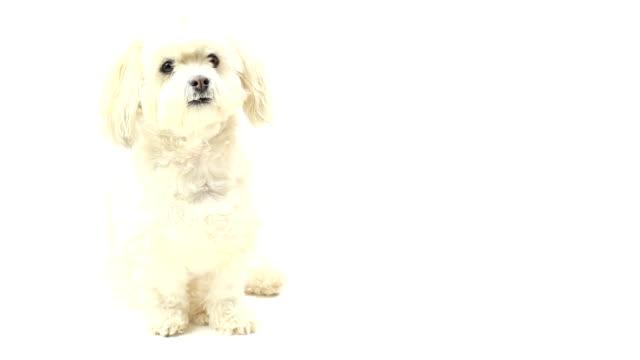 vidéos et rushes de le white dog petit mignon isolé. - objet ou sujet détouré